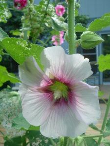 Daisy's flowers July 2008 018
